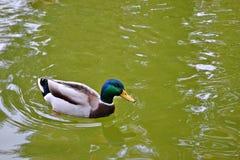 Pato masculino no lago em outubro fotos de stock