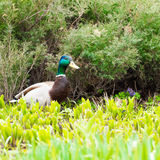 Pato masculino nos arbustos Foto de Stock Royalty Free