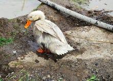 Pato molhado Imagens de Stock Royalty Free