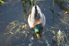 Pato na água 4 Foto de Stock