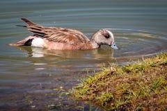 Pato na água Foto de Stock