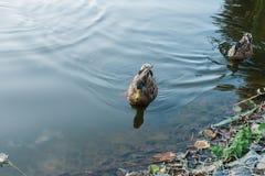 Pato na água Imagens de Stock Royalty Free