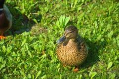 Pato na caminhada Foto de Stock