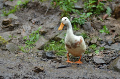 Pato na exploração agrícola Imagem de Stock Royalty Free