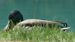 Pato na grama perto do lago vídeos de arquivo
