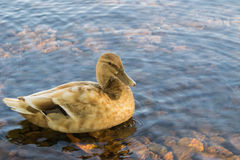 Pato na água Fotos de Stock Royalty Free