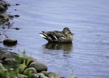Pato na lagoa Imagem de Stock Royalty Free
