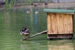Pato na lagoa fotografia de stock royalty free