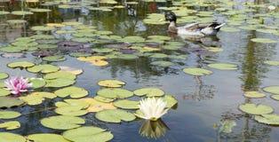 Pato na lagoa do lírio imagem de stock