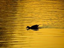 Pato na lagoa no por do sol Foto de Stock
