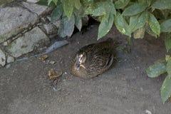 Pato na sombra Foto de Stock Royalty Free