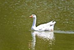 Pato na superfície de um lago Fotos de Stock
