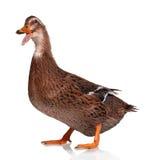 Pato nacional foto de archivo libre de regalías