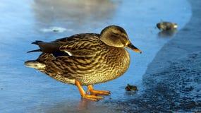 Pato no gelo Imagens de Stock Royalty Free