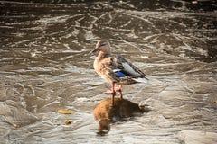 Pato no gelo Foto de Stock