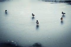 Pato no gelo Fotografia de Stock