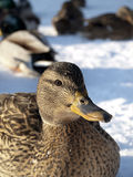 Pato no inverno Fotografia de Stock Royalty Free