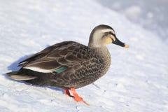 Pato no inverno japonês Fotos de Stock
