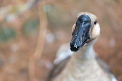 Pato no jardim zoológico Foto de Stock