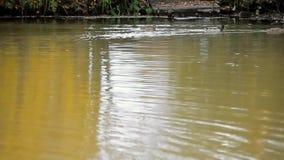 Pato no lago vídeos de arquivo