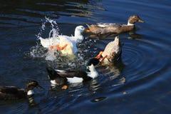 Pato no lago imagem de stock