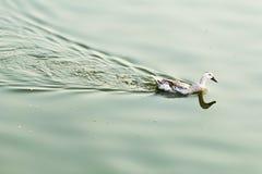 Pato no lago Foto de Stock Royalty Free