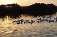 Pato no lago Imagem de Stock Royalty Free