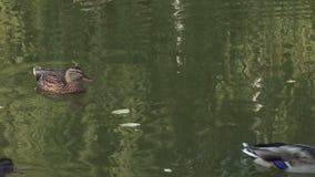 Pato no lago Patos na lagoa da cidade vídeos de arquivo