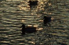 Pato no rio Imagem de Stock