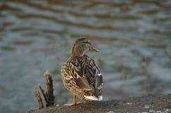 Pato no rio Foto de Stock