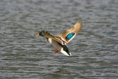 Pato no vôo Imagem de Stock
