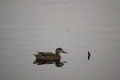 Pato norteño femenino del pato cuchara Imagen de archivo libre de regalías