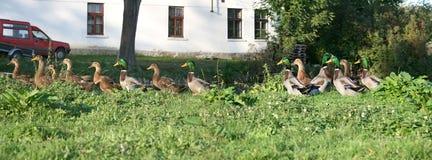 Pato-panorama selvagem Fotografia de Stock