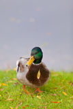 Pato pela lagoa Fotografia de Stock