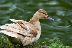Pato pelo rio Fotografia de Stock