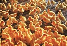 Pato pequeno Fotografia de Stock
