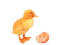 Pato pequeno amarelo com ovo Foto de Stock Royalty Free