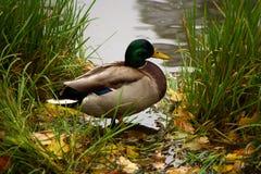 Pato perto da lagoa Imagem de Stock Royalty Free
