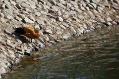 Pato perto do lago Fotografia de Stock