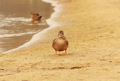 Pato perto do lago Imagens de Stock