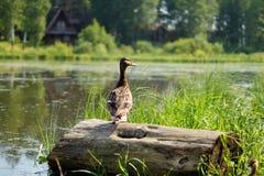 Pato perto do lago imagem de stock