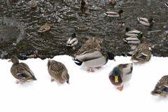 Pato por el agua en el parque Imágenes de archivo libres de regalías