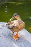 Pato por la charca Fotografía de archivo