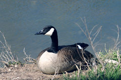 Pato por Lagoa Foto de Stock Royalty Free
