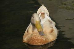 Pato preguiçoso Fotos de Stock Royalty Free