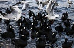 Pato preto e branco no mar inverno 2014 Fotos de Stock Royalty Free