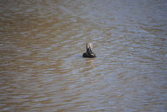Pato preto pacífico Fotografia de Stock