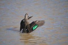 Pato preto pacífico Foto de Stock Royalty Free
