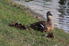 Pato protector de la mamá Imágenes de archivo libres de regalías