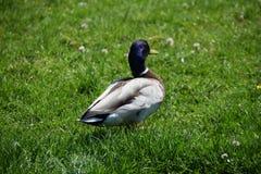 Pato que anda na grama imagem de stock